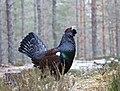 Tetrao urogallus, Glenfeshie, Scotland 1.jpg