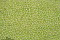 Thamnobryum alopecurum (e, 144754-474748) 6522.JPG