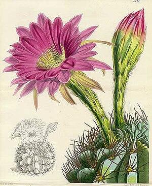 Echinopsis - Image: The Botanical Magazine. pl 4521. Cactus