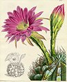 The Botanical Magazine. pl 4521. Cactus.jpg