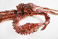 The Childrens Museum of Indianapolis - Alaskan red king crab - detail 1.jpg
