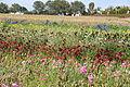 The Flower Fields at Carlsbad Ranch 52 2014-04-28.jpg