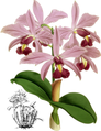 The Orchid Album-01-0101-0033-Cattleya superba splendens-crop.png