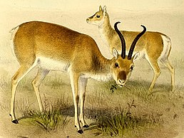 The book of antelopes (1894) Procapra przewalskii.jpg