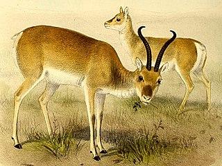 Przewalskis gazelle