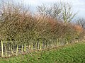 The laying of a traditional hedge (1) - geograph.org.uk - 1750483.jpg