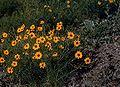 Thelesperma filifolium.jpg