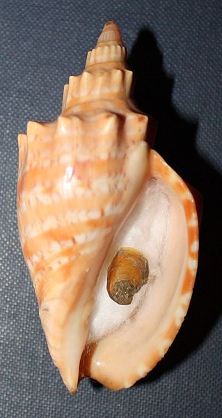File:This is a live taken adult specimen of Callipara (Festilyria) ponsonbyi. (Smith, E.A., 1901), trawled off Durban, South Africa.JPG