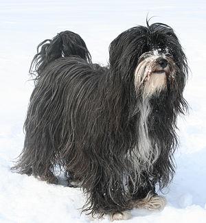 Tibetan Terrier - Image: Tibet Terrier Bennie (cropped)