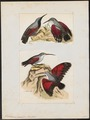 Tichodroma muraria - 1820-1860 - Print - Iconographia Zoologica - Special Collections University of Amsterdam - UBA01 IZ19200377.tif
