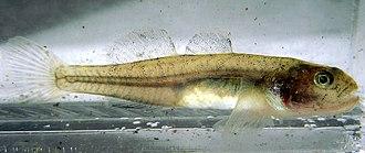Eucyclogobius - Eucyclogobius newberryi