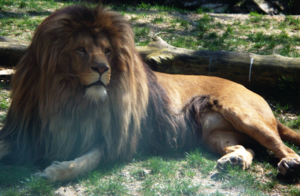 Chemnitz Zoo - The famous lion Malik