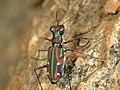 Tiger beetle1.jpg