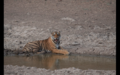 Tiger in Ranthambore 23.png
