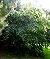 Tilia mexicana tree.jpg