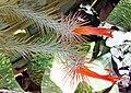 Tillandsia funckiana (9296171587).jpg