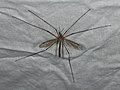 Tipula paludosa (36643110361).jpg