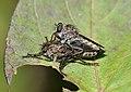 Tolmerus atricapillus qtl1.jpg