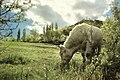 Toro blanco (8206841814).jpg