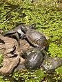 Tortoises, S. Alessio.JPG