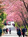 Tourists walk under pink blossom trees in Wuling Farm.jpg