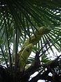 Trachycarpus fortunei, pied mâle en début de floraison.JPG
