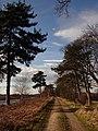Tree-lined road on Hatfield Moors - geograph.org.uk - 1172828.jpg