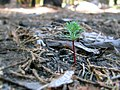 Tree Mortality (14676522341).jpg