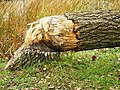 Tree cut down by a beaver at Tifft Nature Preserve (6555924151).jpg