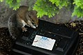 Tree squirrel eating bromadiolone tablets from a rodent bait station.jpg