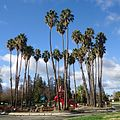 Trees in a public park in Cupertino California.JPG