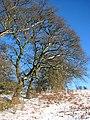 Trees on woodland edge - geograph.org.uk - 1626635.jpg