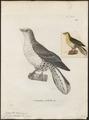 Treron sieboldii - 1700-1880 - Print - Iconographia Zoologica - Special Collections University of Amsterdam - UBA01 IZ15600023.tif