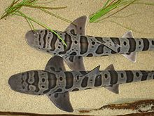 View from above of two leopard sharks lying on the sand side-by-side