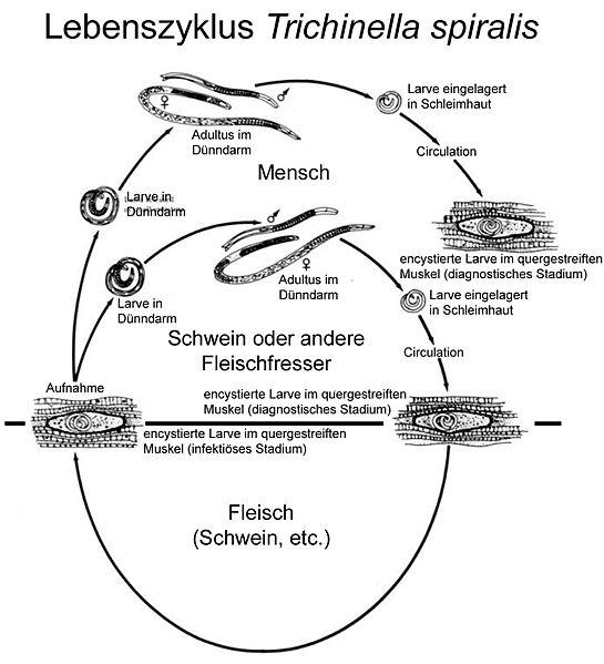 TrichinellaLebenszyklus.jpg
