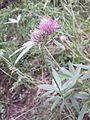 Trifolium alpestre sl1.jpg