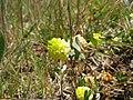 Trifolium campestre flowerhead18 QNR (15455938893).jpg