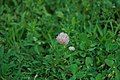 Trifolium repens in the garden of the Saint-Chiristophe Church 02.jpg