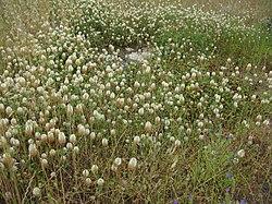 Trifolium vesiculosum habit1 (10735693536).jpg