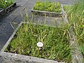 Triglochin maritimum - Botanical Garden, University of Frankfurt - DSC02690.JPG