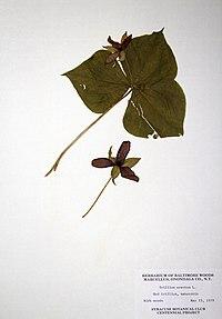 Trillium erectum BW-1979-0515-0400.jpg