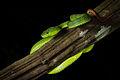 Trimeresurus-popeorum-Pope's-pit-viper-(female)-Kaeng-Krachan-National-Park.jpg