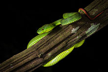 Trimeresurus-popeorum-Pope's-pit-viper-(female)-Kaeng-Krachan-National-Park.jpg