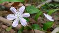 Tripladenia cunninghamii flower (15932033589).jpg