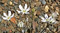Triteleia lilacina 1.jpg