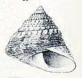 Trochus erithreus 002.jpg
