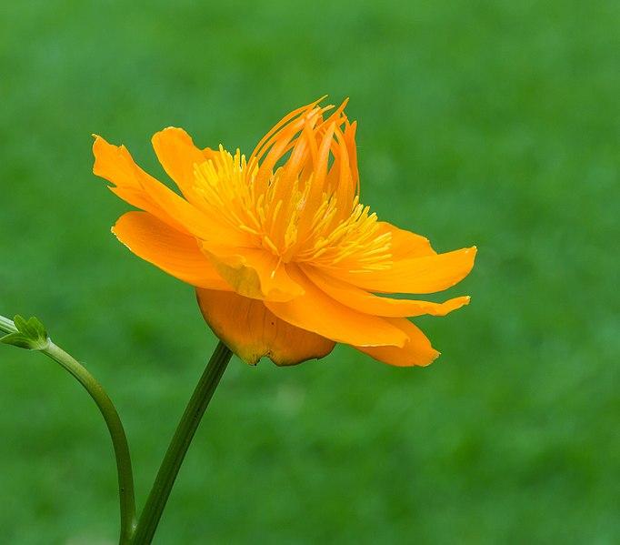 File:Trollius chinensis 'Golden Queen', opvallende bloem met warme oranjeachtige kleur. Locatie, Tuinreservaat Jonkervallei 05.jpg