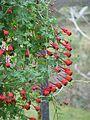 Tropaeolum tricolor - Flickr - peganum (5).jpg