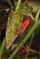 Tropidothorax leucopterus2.jpg