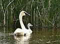 Trumpeter swan on Seedskadee National Wildlife Refuge (35063684154).jpg
